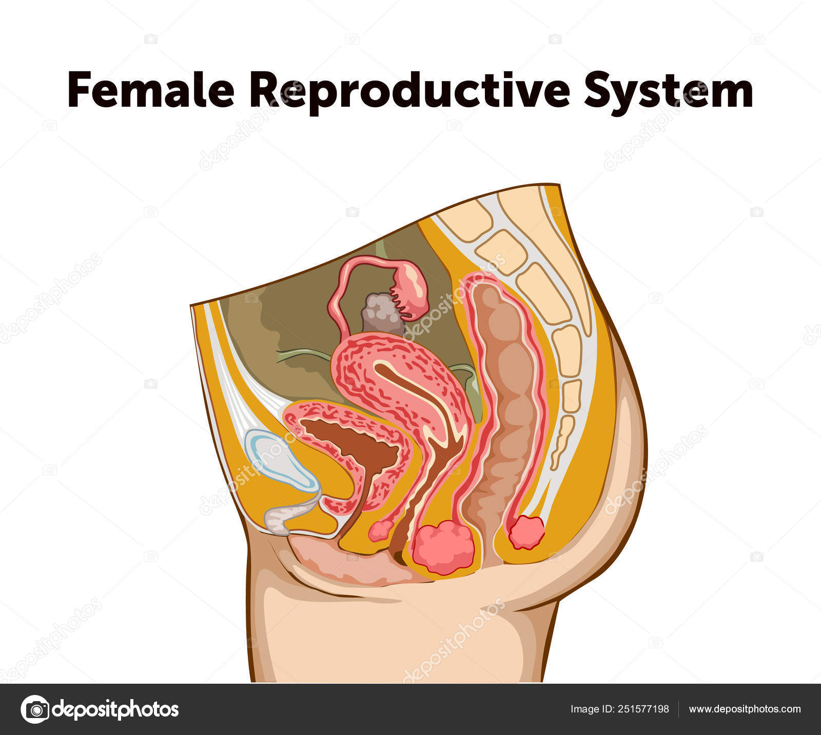 Education Chart of Biology for Reproductive System ... on pituitary system diagram, immune system diagram, fetus diagram, skin diagram, the vascular system diagram, immunologic system diagram, cardiac system diagram, endocrine system diagram, respiratory system diagram, excretory system diagram, cardiovascular system diagram, bladder system diagram, digestive tract diagram, musculoskeletal system diagram, integumentary system diagram, nervous system diagram, uterus system diagram, sensory system diagram, hepatobiliary system diagram, cns system diagram,