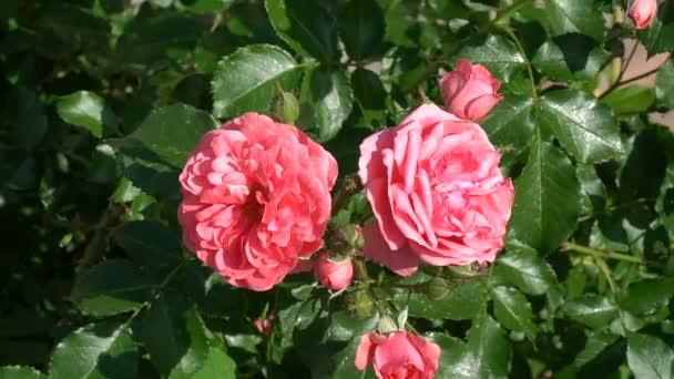 Két piros rózsa-rügyek közelről. Két piros rózsa a háttérben a zöld levelek.