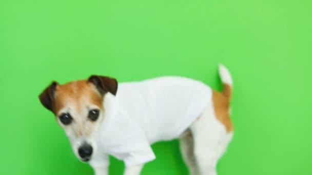 Usmívající se pes v bílé tričko portrét. Video záznam. Zelené barvy pozadí. Krásné bílé Jack Russell teriér pes