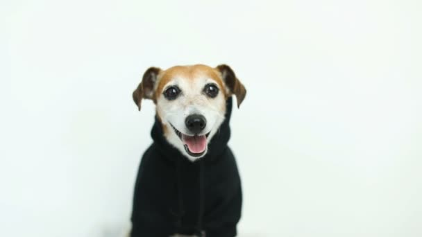 Happy dog in black jumper looking to the cam. White background. Video footage