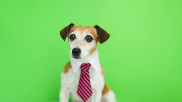 kutya ül, fordult a fejét, és szeretnének a cam rózsaszín nyakkendőt, és inget gallér. Zöld chroma key háttér. Videofelvétel