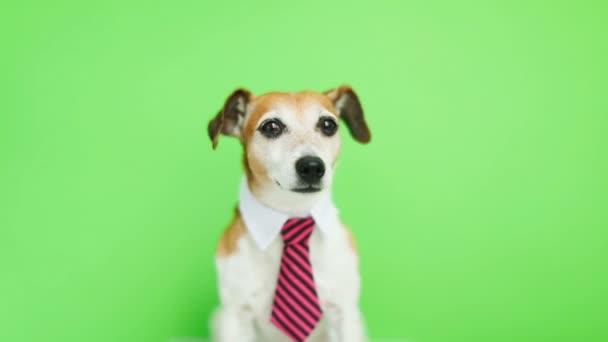Aranyos kutya, komolyan koncentrált Fang alsó sárgásbarna telekkönyv. Zöld chroma key háttér. Videofelvétel