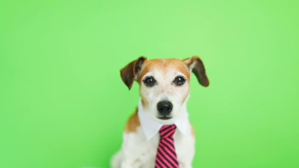 Adorable funny dog Jack Russell terrier with serious concentrated muzzle. licking. Green chroma key background. Video footage.