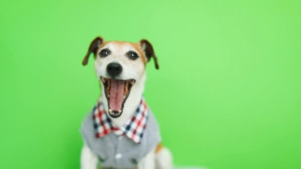 Happy smiling active dog in clothes lookig to the cam. yawn. Green chroma key background. Video footage.
