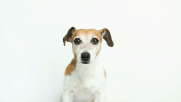 Hezký bílý pes na bílém pozadí. výprask, s úsměvem. Video záznam