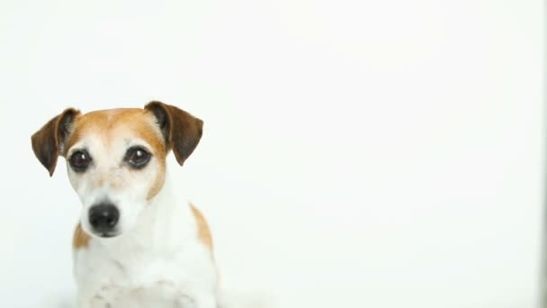 Cute white dog on white background. yawning, smiling. Video footage