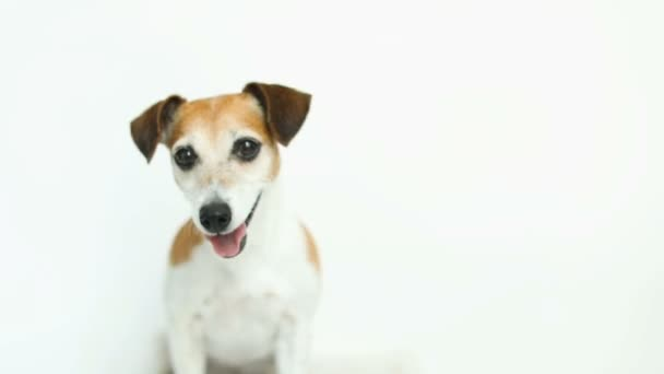 Adorable small dog on white background. Running and jumping. Happy smiling mood. Video footage