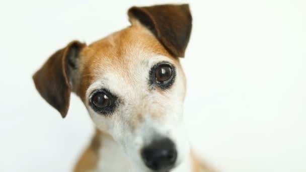 Lovely big dogs eyes. Close up video footage portrait. White background