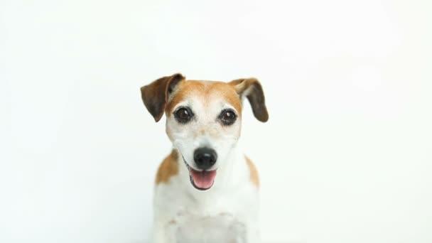 Hund auf weißem Hintergrund. Leckerbissen aus der Hand des Besitzers. Videoaufnahmen. liebes Haustier