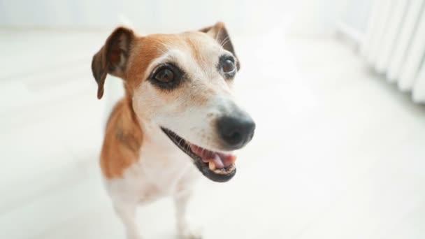 Hravý pes s úsměvem a při pohledu na vačky. vedení ocas. Video záznam
