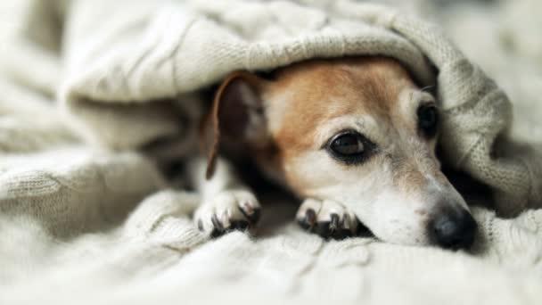 verträumt nachdenklich entspannter trauriger Hundeblick unter der Decke. schöne süße Hundegesicht. Nickerchen mit kleinen Welpen. Videomaterial