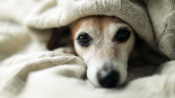 Adorable Sad relaxed sleepy dog eyes aunder the blanket. Napping at cozy bed. Pet comfortable rest care. Video footage