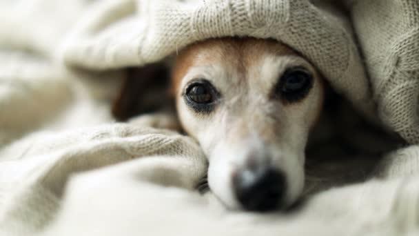 entzückend traurig entspannte schläfrige Hundeaugen unter der Decke. Mittagsschlaf im gemütlichen Bett. Haustier komfortable Ruhepflege. Videomaterial
