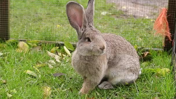Cute grey rabbit sits in the green grass. Easter bunny in aviary  stock footage
