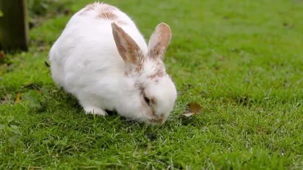 Weißes Kaninchen mit roten Flecken frisst Gras auf dem Rasen