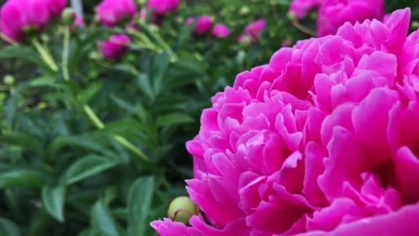 Peony pink flowers in garden.