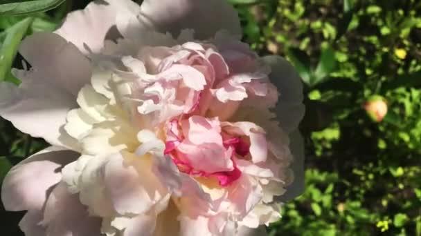 Bazsarózsa rózsaszín virágok a kertben.