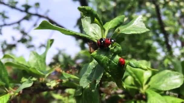 Ladybug on green branch in mating season.