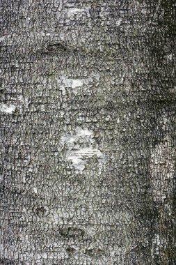 Gray white birch bark texture