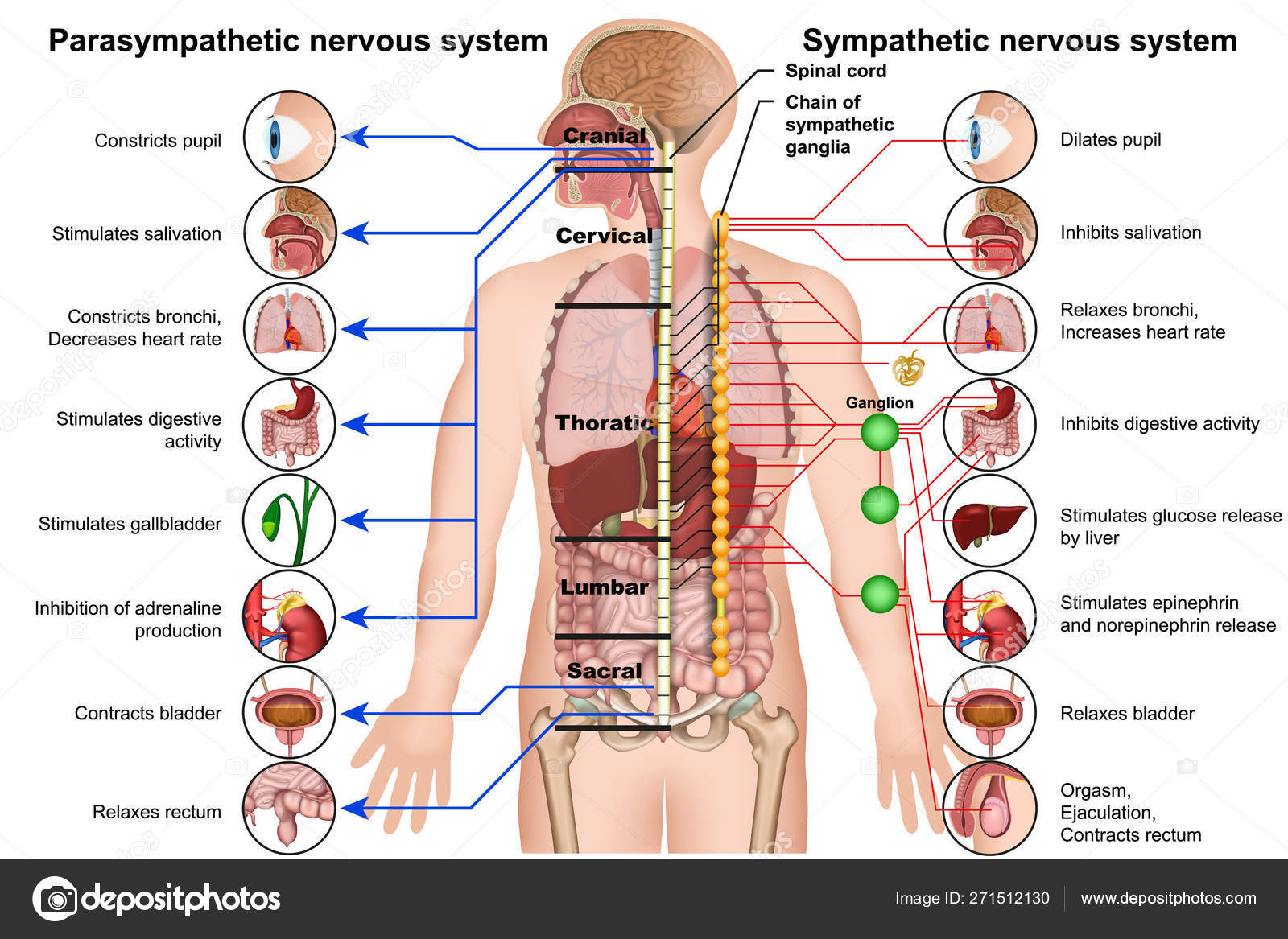 Image result for parasympathetic nervous system