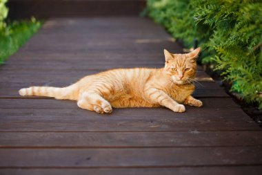 The red cat was sprawled on wooden planks surrounded by greenery