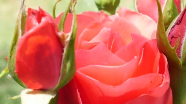Krásné červené růže květ pupeny na slunečný den, detail