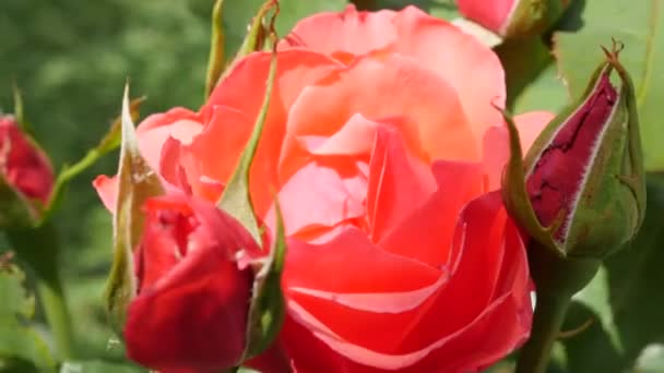 Beautiful red rose flower buds at sunny day, close-up