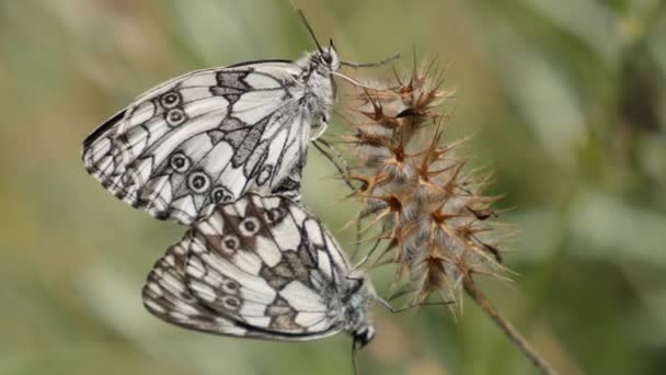 Black and white Melanargia galathea butterflies matting in nature, close-up