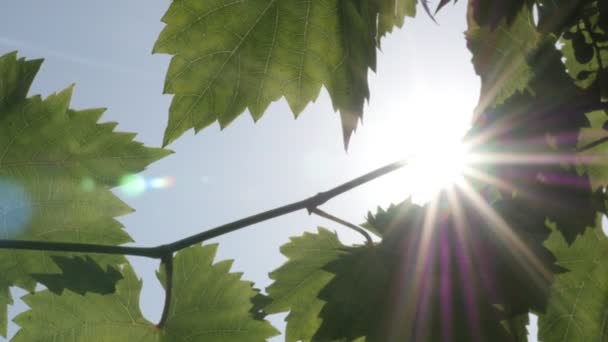 Light coming through vine green leaves on blue sky background, close-up