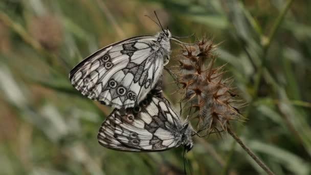 Black and white Melanargia galathea butterflies matting in nature, close-up