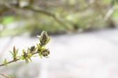 Young bud of a rowan tree.