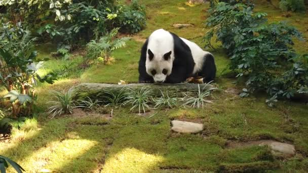 slow motion of Giant panda eating bamboo