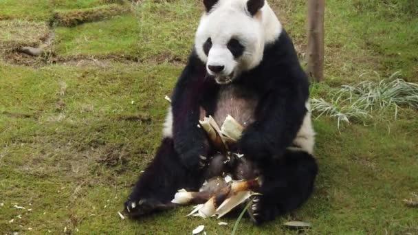 Zpomalený pohyb bambusového Panda