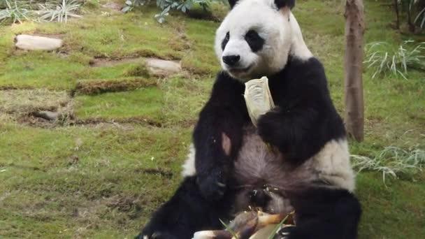 slow motion of Giant panda eating bamboo