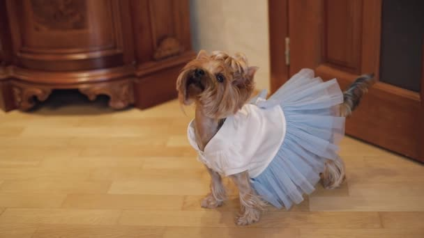 Dog terrier in funny dress