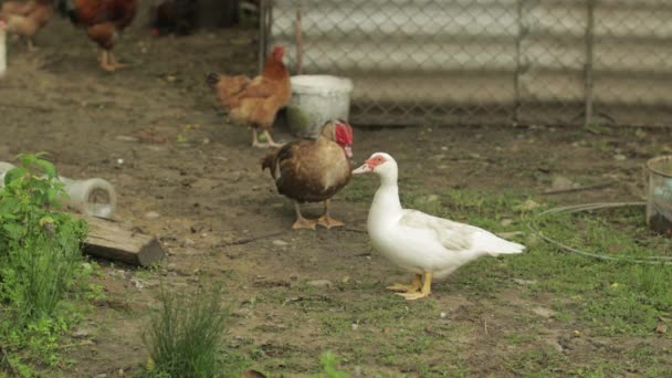 Einheimische weiße und braune Enten und Hähne gehen auf den Boden. Hintergrund des alten Bauernhofs. Suche nach Lebensmitteln
