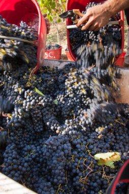 Grape Harvest, selective focus