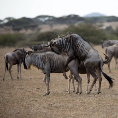 The wildebeest, also called the gnu, is an antelope. Shown here in Kenya during the migration mating.