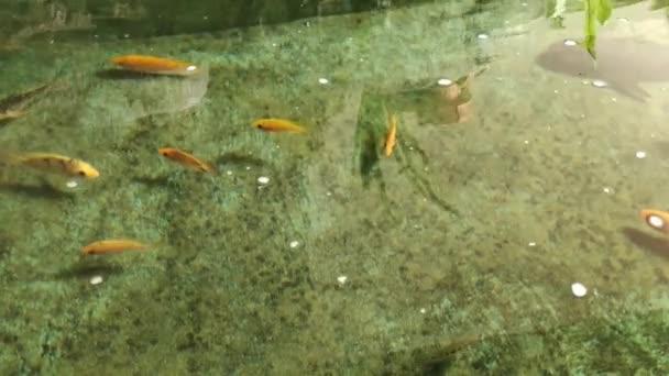 ikan mas di dalam kolam. Karpfen im Teich. bunte Fische oder Karpfen oder ausgefallene Karpfen, ausgefallene Karpfen, die am Teich schwimmen. Video 4 k. hd fish video.