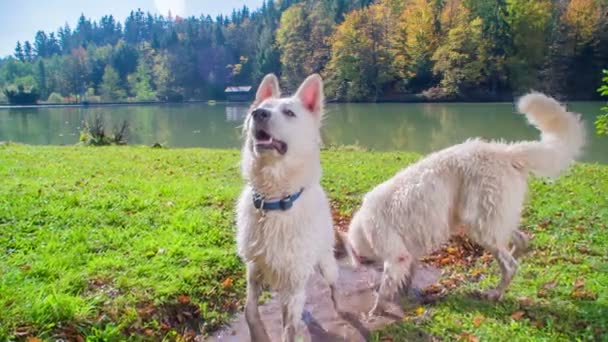 A white dog is jumping up in the air and the other one is looking for something in the puddle.