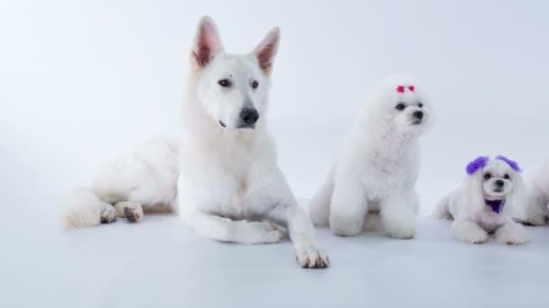 közeli felvétel gyönyörű fehér kutyák stúdió fehér