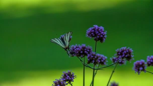 Egy aranyos lila pillangó megáll egy szép virágon..