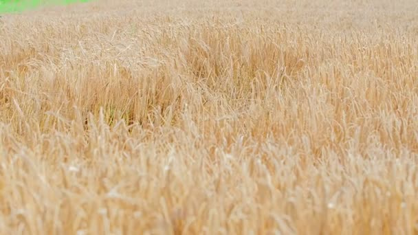 A beautiful and peaceful wheat field. Its summer time.