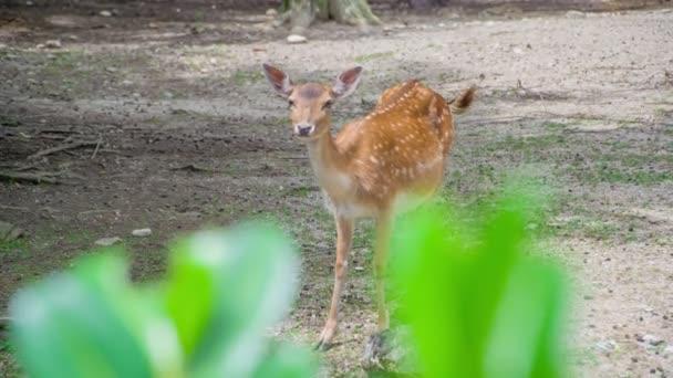 Ein niedliches Reh, das gerade mitten im Wald steht und erstaunt ist über all die Menschen, die es im Zoo beobachten..