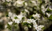 Jarní květ: větve kvetoucího jablka nebo třešňový Park v parku. Bílé květiny jablečného stromu nebo třešně na pozadí přírody.