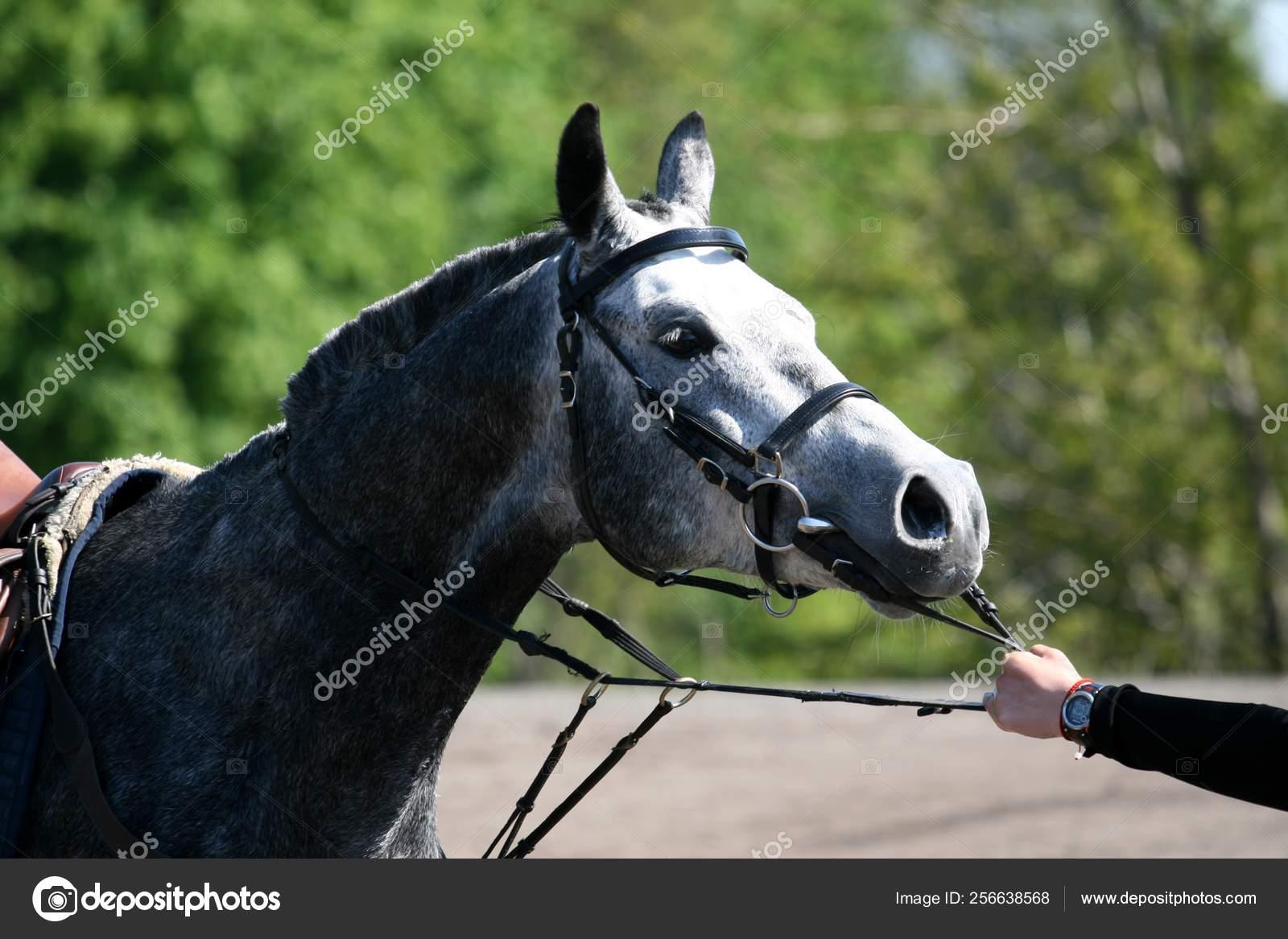 Arabian Horse Portrait Finish Endurance Compitition Stock Photo C Mashaantropova 256638568