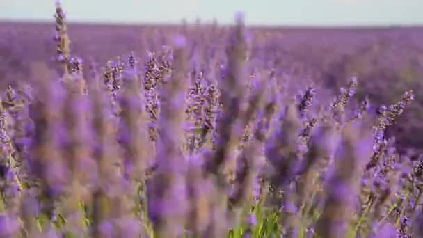 France Provence Blooming lavender fields