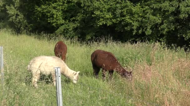 Alpakas stehen zusammen auf einer Wiese und fressen Gras