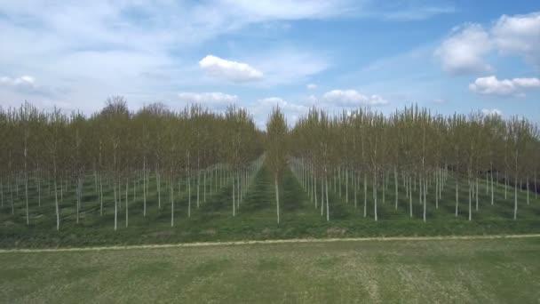 Antenna lövés közeledik a nyár fa ültetett erdőben