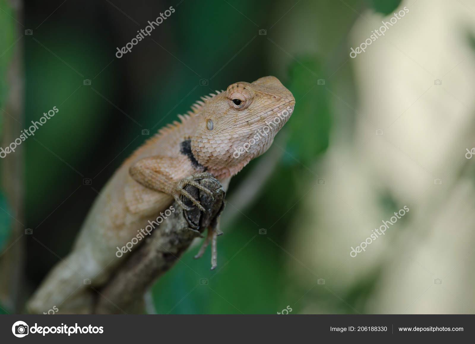 oriental garden lizard sitting tree bark calotes versicolor stock photo - Garden Lizard